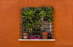 Window garden, Fano, Italy (Allison Kendall) Tags: fano italy garden window square orange green pink plants lifestyle culture details travel italian street urban terracotta pottery wall plaster warm foliage leaves gardening small