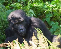 IMGP3924 Don't wake me up again ! (Claudio e Lucia Images around the world) Tags: bwindi impenetrable forest np uganda bwindiimpenetrableforestnp gorilla primate human trekking safari pentax pentaxkp pentaxlens pentaxcamera pentaxart pentax60250 ape apes