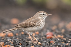 Berthelot's Pipit 502_2880.jpg (Mobile Lynn) Tags: birds berthelotspipit pipitswagtails pipit nature anthusberthelotii bird fauna wildlife yaiza canaryislands spain coth specanimal ngc coth5 npc