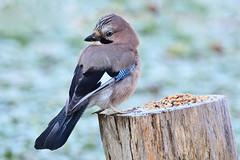 DSC_9586 Geai des chênes (sylvette.T) Tags: animal oiseau geaideschênes 2019 givre froid bird jay garrulusglandarius