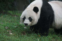 Mei Xiang (美香) 2019-10-07 (kuromimi64) Tags: smithsoniansnationalzoo nationalzoo smithsonian スミソニアン zoo 動物園 washingtondc ワシントンdc usa america アメリカ合衆国 アメリカ bear クマ 熊 giantpanda ジャイアントパンダ panda パンダ 熊猫 大熊猫 meixiang 美香