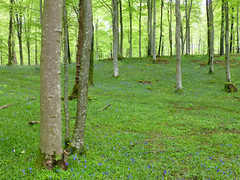Woodland, Wastwater, Cumbria, UK (east med wanderer) Tags: england cumbria uk lakedistrictnationalpark woodland bluebells wasdale wastwater green