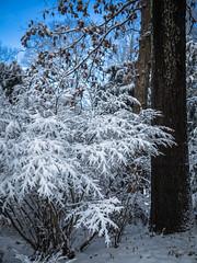 after snowfall (marinachi) Tags: snow winter white blue bush