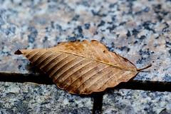 Last day of autumn (Woodenship) Tags: foveon sigma dp3 quattro leaf autumn 2019 winter tokyo japan