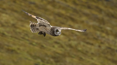 Short-eared Owl - Fast Food (Ann and Chris) Tags: owl shortearedowl stunning shorteared vole caught fast flyer flyby flying close near diving impressive