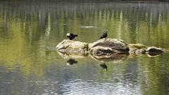 Sobre pedras (série com 3 fotos) (Parchen) Tags: ave aves aquáticas pedra rio morretes rionhundiaquara foto fotografia imagem registro parchen carlosparchen