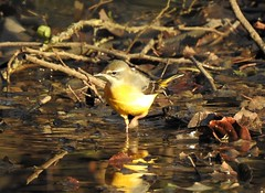 Bergeronnette des ruisseaux (chriscrst photo66) Tags: bird animal oiseau bergeronnette des ruisseaux lac gironde aquitaine ornithologie ornithology photographie photography nature wildlife nikon