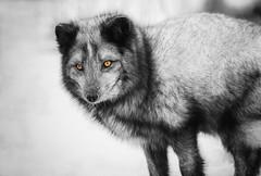 Arctic Fox (trekok, enjoying) Tags: 1l8a3118 copy ecomuseum color selective fox arctic
