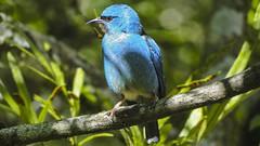 Azul Manchado (série com 4 fotos) (Parchen) Tags: ave pássaro aves pássaros passarinho azul azulzinho manchado silvestre natureza livre liberdade solto nanatureza foto fotografia imagem registro pássaroazul pássaroazulclaro parchen carlosparchen saíbicofino saíradebicofino azulego saíbicudo saíazul dacniscayana bluedacnis macho indivíduojovem juvenil