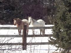 Happy Fence Friday (novice09) Tags: fences happyfencefriday horses snow trees ipiccy artistic oil fotosketcher painterly digitalartpainting