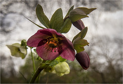 Handsome Hellebore (ianmcnaught38) Tags: flower plant petal leaf tree nature floweringplant pollen flora garden hellebore beautiful blooming green color