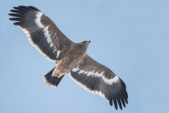 Steppe Eagle (Tim Melling) Tags: aquila nipalensis steppe eagle tibetan plateau sichuan timmelling