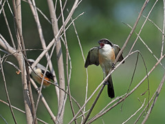 Long-tailed Shrike (ChongBT) Tags: nature natural wild life wildlife animal bird avian watching birdwatching ornithology malaysia olympus shrike lanius schach long tailed longtailed rufous backed rufousbacked