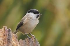 marsh tit 5017 (alfred.reinartz) Tags: vogel bird singvogel meise sumpfmeise paruspalustris