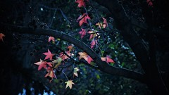 LI (Elena Parra) Tags: autumn leaves leaf color colours contrast nature forest natural wind winter cold sun sunny blue dark darkness red yellow orange tree trees plant plants sky