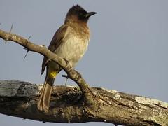 Blck-eyed Bulbul  /  Drk-capped Bulbul /  Swartoogtiptol (Pixi2011) Tags: birds krugernationalpark southafrica africa wildbirds nature