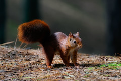 Mr Bushy (FireDevilPhoto) Tags: rodent squirrel animal mammal wildlife nature brown cute fluffy fur outdoors small animalsinthewild eating closeup forest tail red autumn looking formby sony a9