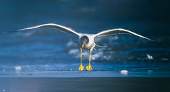 flaps (Rajiv Lather) Tags: sea beach seagull gull india indian birds birding birder flight wings photography image photo pic flaps water nature wildlife avifauna outside outdoors animals avian aves webbed laridae focus colors blues yellows picture glide white legs feet