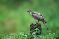 Sparrowhawk (forbesimages) Tags: sparrowhawk bird hawk canon forbesimages nature wild scotland