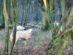 Woodland sheep (mark.griffin52) Tags: england hertfordshire ashridgeestate forest woodland countryside farmanimals animals farm sheep