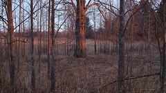 Tree Among Trees (Steve InMichigan) Tags: trees tree shagbarkhickory canoneosm50 fotasyfdfleosmlensadapter canonfl28mmf35lens