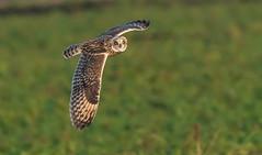 Short Eared Owl (garyclarkewildlifephotograpjy) Tags: owl shorty seo bop nikond500 nikon 300mmf28 wildlife nature sefton lancashirewildlifetrust merseyside bif