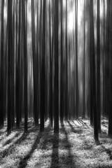 Forest fantasy (Andrei Baskevich) Tags: wood forestry travel landscape pine background nature sun bark trunk outdoor trees fir pinery light woodland coniferous plant wild summer tree growth forest scenic blur outdoors green group moss wilderness environment blackandwhitelandscape blackandwhite