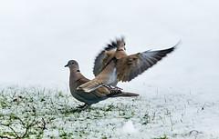 RM-2019-365-347 (markus.rohrbach) Tags: natur tier vogel taube türkentaube projekt365 wetter schnee