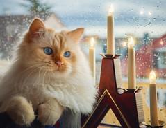 Falling rain and Christmas lights (FocusPocus Photography) Tags: tofu dragon katze kater cat lichter lights weihnachten christmas regen rain fenster window