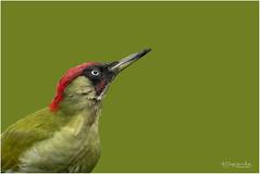 Male Green Woodpecker portrait (Gertj123) Tags: bird netherlands nature animal avian garden green male wildlife winter wild canon beak red
