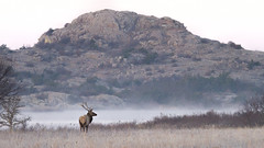 Elk and Steam Fog at Quanah Parker Lake 12-13-19 (Larry Smith2010) Tags: wichitamountainswildliferefuge wichitamountains elk bullelk oklahoma larrysmith quanahparkerlake littlebaldy