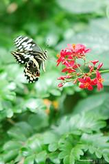 0177 (jhnanna71) Tags: butterfly callerwaygarden georgia