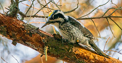 Three-toed Woodpecker (Timo Airaksinen) Tags: bird birds birdphotography birdphotos nature naturephotos naturephotography naturephoto natural wildlife wildlifephotography wilflifephotography finland suomi lintu linnut espoo