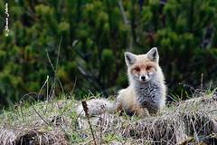 Guarda guarda...curiosona! (silvano fabris) Tags: animali canonphotography wildlifephotography faunaselvatica animals fox volpe