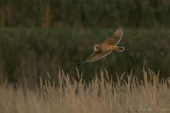 Short Eared Owl -5048 (WendyCoops224) Tags: 100400mml 80d cambridgeshire fens canon eos ©wendycooper asio flammeus short eared owl