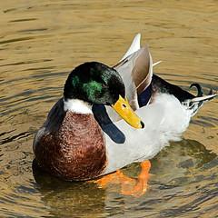 RICHMOND TASMANIA (16th man) Tags: richmond tasmania canon eos eos5dmkiii duck