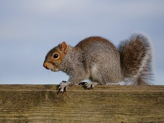 Squirrel (PhotoLoonie) Tags: greysquirrel squirrel animal mammal wildlife nature