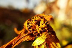 Yellowness (time limited) (Chris Goodacre) Tags: yellow motorolamotog4 mobilephonecamera android photoscape gardenflora closeup chrisg35mm