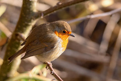 Bird watching at the local nature reserves in Andover. (christina.marsh25) Tags: nnr localnaturereserve antonlakes rooksburymill birds wildlife andover robin