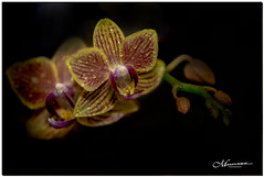 DECEMBER 2019 _1366_NGM_4366-2-222 (Nick and Karen Munroe) Tags: waterdrops droplets drops waterdropplets houseplant bloom blooming flowering flower flowers plant plants orchid orchids petals petal blossoms blooms bokeh creamy macro closeup upclose karenick23 karenick karenandnickmunroe karenandnick munroe karenmunroe karen nickandkaren nickandkarenmunroe nick nickmunroe munroenick munroedesigns photography munroephotoghrpahy munroedesignsphotography nature landscape brampton bramptonontario ontario ontariocanada outdoors canada d750 nikond750 nikon nikon105f28 nikon105 nikon10528 105f28 f28 105mm 105 afs g 28 vrbokehcreamymacroclose upup close colour colours color colors