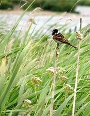 Male reed bunting (Jaedde & Sis) Tags: rørspurv reedbunting male reed