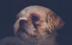Dog-9182 (EB_Creation) Tags: dog dogphotography dogging amateur camera blackbackground shihtzu shihtzucentral nikon nikond7500 50mm 500mmf18 nikkor nikon50mmf18