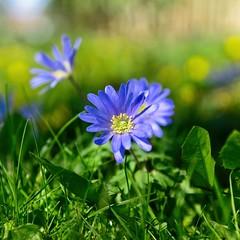 Spring Flower (Hindrik S) Tags: spring flower blom bloem voorjaar maitiid lente blue blau blauw bleu green printemps groen grien grün skepping schepping schöpfung frühling sonyphotographing sony sonyalpha sony1650mmf28dtssm sal1650 2019 garden garten tuin tún jardin on1photoraw2019 on1pics nature natuur natuer natur f28 50mm 1640 iso100