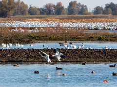 Colusa National Reserve, CA (DreyerPictures (16 million views - Thank You!)) Tags: gh5 gx8 lumix m43 m43ftw microfourthirds mirrorless nature outdoor panasonic wildlife birds dreyerpicturescom water wetlands arbuckle california unitedstatesofamerica