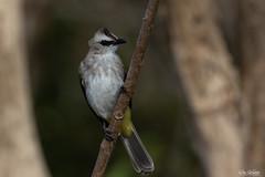 bird (Ron Winkler nature) Tags: bird birding birdwatcher birdwatching ornithology indonesia bali asia wildlife nature canon 100400ii 7dii