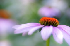 Pastel Summer Dreaming (Marie Brown Cottage Garden) Tags: lensbabysweet50 lensbaby