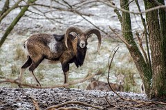 European moufflon (Michal Ritter) Tags: animal white winter moufflon snow republic reportage michalritter mysterious morning czech country colors color forest photographer protected park bohemia brdy black