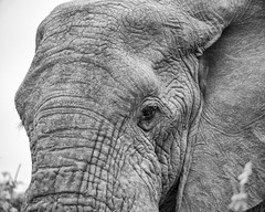 Big (-savoche-) Tags: southafrica kruger pafuri elephant