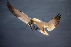 Basstölpel Helgoland (DeanB Photography) Tags: 1dx bird canon deanb helgoland tier vogel vögel animal bastölpel düne hochseeinsel insel langeanna nordsee robben seehunde urlaub