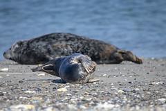 Robben Helgoland (DeanB Photography) Tags: 1dx bird canon deanb helgoland tier vogel vögel animal bastölpel düne hochseeinsel insel langeanna nordsee robben seehunde urlaub